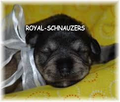 Do Giant Schnauzer Dogs Shed Hair by Schnauzer Puppy Colors Royal Schnauzers Utah