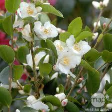 entretien du camelia en pot camellia transnokoensis hauteur 50 60 cm conteneur 7 5 l autres