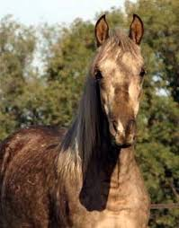Baymount Morgan Horses Morgans For Sale