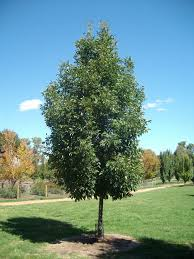 12 Ft Christmas Tree Canada by Shade And Flowering Trees For Sale In Boise