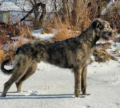 Irish Wolfhound Non Shedding by Best Breed Mix Of Motodog Moto Related Motocross Forums