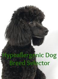 Non Shed Dog Breeds Hypoallergenic by Hypoallergenic Dog Breed Selector Dog Vills