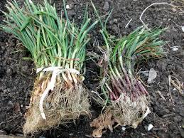 planting onions veggie garden knowledge