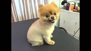 Small Dogs That Dont Shed Hair by Watch This Before You Shave A Pomeranian Youtube