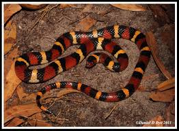Scarlet Kingsnake | Florida Backyard Snakes Backyard Snakes Effective Wildlife Solutions Snakes And Beyond 65 Best Know Them Images On Pinterest Georgia Of Louisiana Department Fisheries Southern Hognose Snake Florida Texas Archives What Is That 46 The States Slithery Species Nolacom Scarlet Kingsnake Cottonmouth Eastern Living Alongside Idenfication Challenge The Garden Or Garter My Species List New Engdatlantic