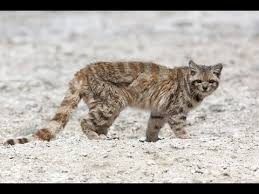 mountain cat andean mountain cat leopardus jacobita