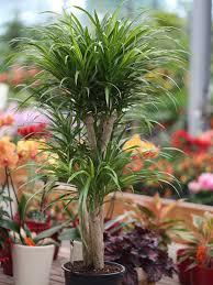 dracaena reflexa variegata drachenbaum