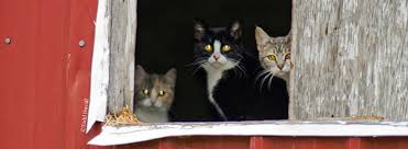 CatZipAlliance-BarnCats.jpg Ferals Strays And Barn Cats Cat Tales Tuesdays Fun And Aww My Moms Is Gorgeous Viralspell The Care Feeding Of Timber Creek Farm Program Buddies Seeking Support For Its Catsaving Efforts Adoption Barn Cats Near Bardstown Ky Petfinder For Green Rodent Control Turn To Barn Cats The Flying Farmers Free Images Wood Old Animal Cute Wall Pet Rural Sitting On Top Of Bales Straw Ready To Pounce Stock Weve Got Hire Central Missouri Humane Society By Jsf1 On Deviantart