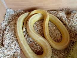 Corn Snake Shedding Time by Corn Snake Butter Stripe Southport Merseyside Pets4homes
