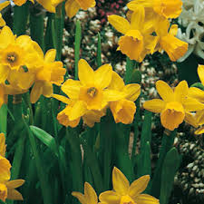 cheap tete a tete narcissus bulbs cheap flower