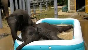 Adorable Baby Elephants Play In Kiddie Pool