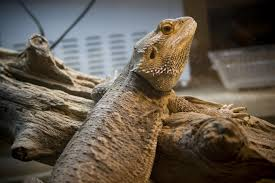 Reptile Heat Lamps Safety by Providing Heat And Light For Pet Reptiles