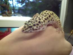 Do Leopard Geckos Shed by Leopard Gecko Caresheet The Home Of Hordeftl
