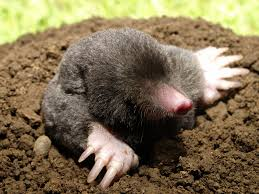 Voles And Moles, Oh My! - Chiltons Pest Control, Springfield MO How To Get Rid Of Moles Organic Gardening Blog Cat Captures Mole In My Neighbors Backyard Youtube Animal Wikipedia Identify And In The Garden Or Yard Daily Home Renovation Tips Vs The Part 1 Damaging Our Lawn When Are Most Active Dec 2017 Uerstanding Their Behavior Mole Gassing Pests Get Correct Remedy Liftyles Sonic Molechaser Alinum Covers 11250 Sq Ft Model 7900