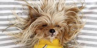 Dogs That Shed Little Hair by Do Yorkies Shed The Answer Might Surprise You Rover Com