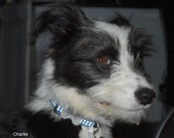 Do Blue Heeler Border Collies Shed by The