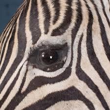 Zebra Abstract Canvas Set Iconic Canvas