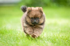 Cute Low Shedding Dogs by 12 Of The World U0027s Smallest Dog Breeds Mnn Mother Nature Network