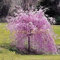 20 Pcs Fountain Weeping Cherry TreeDIY Home Garden Dwarf