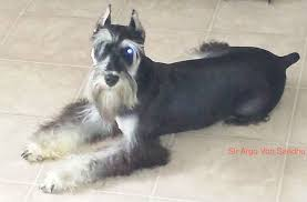 Do Giant Schnauzer Dogs Shed Hair by Testimonials From Our Heart To Your Home We Breed For Health