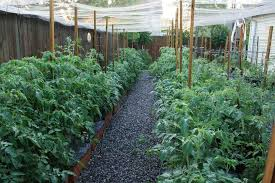 Here Is A Look At Our Tomatoes In EarthBoxes This Spring Well Almost Summer