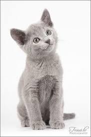 russian cat names the of cuteness russian blue cat personality russian blue