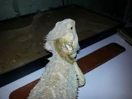 part of dragon turning white not shedding bearded dragon org
