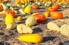 Pumpkin Patch Half Moon Bay Ca by Pumpkin Patch In California Stock Image Image 34496207