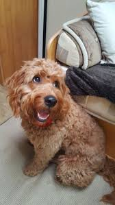 Do Cavapoos Shed A Lot by 1894 Best Doodles Doodles And More Doodles Images On Pinterest
