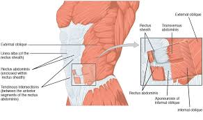 Muscles Of The Pelvic Floor Male by The Anterolateral Abdominal Wall Muscles Teachmeanatomy