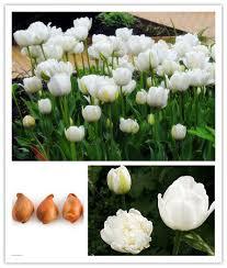 aliexpress buy 2 bulbs true tulip bulbs tulip flower