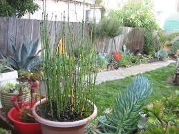 entretien des bambous en pot equisetum hyemale equisetum japonicum les prêles décoratives