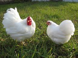 BYC Member Interview - BantamLover21 | BackYard Chickens Gender Id Australorp Leghorn Cross Hi From Sydney Backyard My New Flock Chickens Barnevelder Byc Member Interview Bantamlover21 Lilyfield Life Why I Keep Backyard Evans Chiensbackyard For Sale Sydneyphotos Retegrating A Recovered Hen To Small Flock 100 Whole Pet Family Intertional Black Copper Marans Thread Breeding The Sop Watch Hilarious Announcers Reaction As Deer Jump Onto Retrack