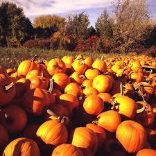 Seattle Pumpkin Patch by Best Pumpkin Patches In Minnesota Wcco Cbs Minnesota