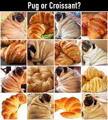 My Pug Dog Is Pretty Round But She Doesnt Have Croissant Wrinkles Lol