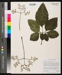 Causonis japonica Species Page APA Alabama Plant Atlas