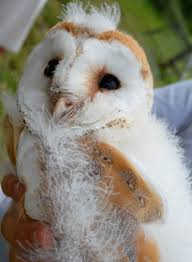Sustainable Garden: Baby Barn Owls .... Barn Owl Focus On Cservation Best 25 Baby Ideas On Pinterest Beautiful Owls Barn Steal The Show As Day Turns To Night At Heartwood Family Ties Owl Chicks Let Their Hungry Siblings Eat First The Perch Uncommon Banchi Baby Coastal Home Giftware From Horizon Stock Image Image Of Small Young Looking 3249391 You Know Birdnote Banding By Alex Lamoreaux Nemesis Bird