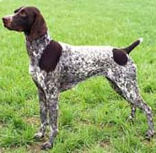 German Shorthaired Pointer Shed Hunter by German Shorthaired Pointer Breed Pictures And Information Only