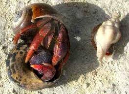 Do Hermit Crabs Shed Their Body by Caribbean Hermit Crab Coenobita Clypeatus