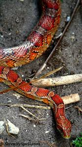 Corn Snake Shedding Time by 23 Best Pets Images On Pinterest Snakes Reptiles And Amphibians