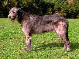 Irish Wolfhound Non Shedding by Irish Wolfhound Puppies Ohio Puppies Pet Photos Gallery Jg6kry0box