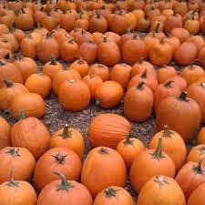 Pumpkin Patch Massachusetts by Honey Pot Hill Orchards 277 Photos U0026 258 Reviews Fruits