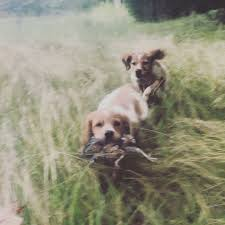 When Pups Are Hunting Hard Chasing And Demonstrating Toughness Gun Tolerance Theyll Be Gang Run On Pre Released Johnny House Quail A Near