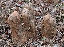 Make Cypress Knee Lamps by Cypress Knee Wikipedia