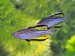 42 best rainbow fish tag images on fish aquariums
