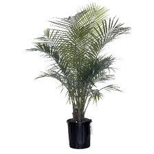 prix des palmiers exterieur palmier majesty rona