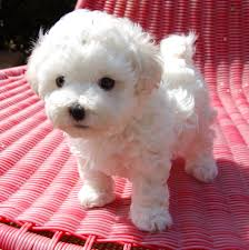 Non Shedding Dog Breeds Small by Bolognese Dogs Of Little White Wonder Part 9 Favorite Places