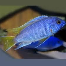 poisson eau douce aquarium tropical poissons d eau douce pour aquarium en vente en ligne vpc