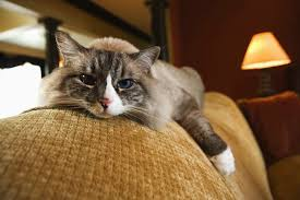 renal failure in cats when to put your senior cat to sleep in renal failure cuteness