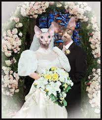 cat wedding dress sphynx cat wedding photo cats photo collage